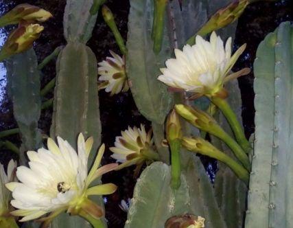 Cactus Flowers Detail