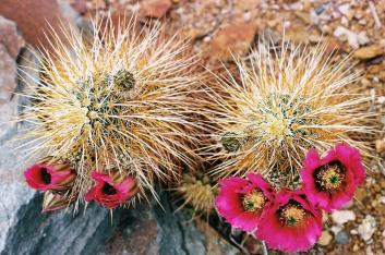 Cactus Flowers 1