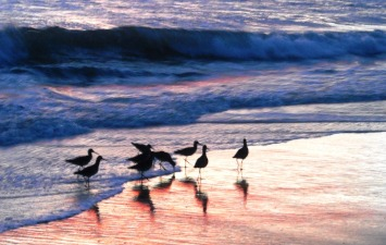 Huntington Beach Birds 2