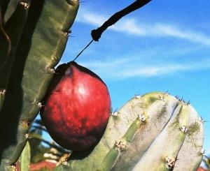 Cactus Fruit 13