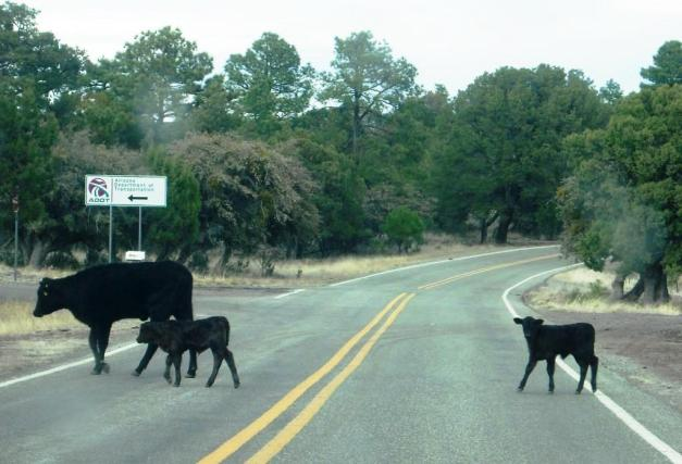 Pic 20 Cows in the Road